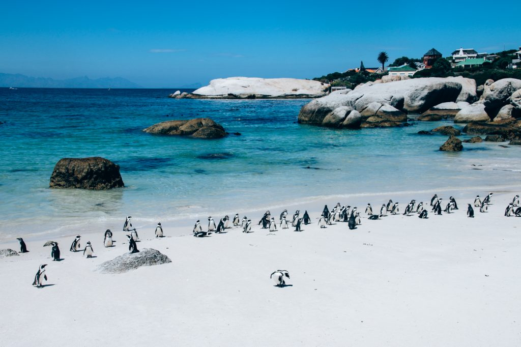 pinguine_boulderbeach_capetown_11